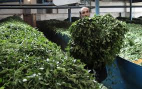 اصلاح ساختار کارخانجات چایسازی با اعطای تسهیلات؛ چای ایرانی به کشورهای اوراسیا صادر میشود