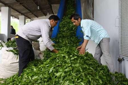 قیمت خرید تضمینی برگ سبز چای درجه یک  تعیین شد