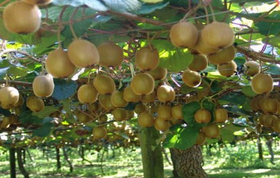 افزایش برداشت کیوی از باغ های گیلان