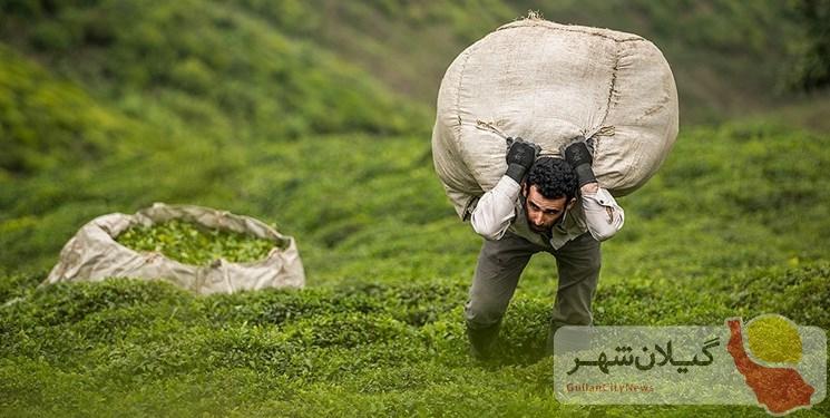 گلایه چایکاران گیلانی از سود کمِ فروش چای در کشور/ ۶۰ هزار تن چای به کشور واردشده است