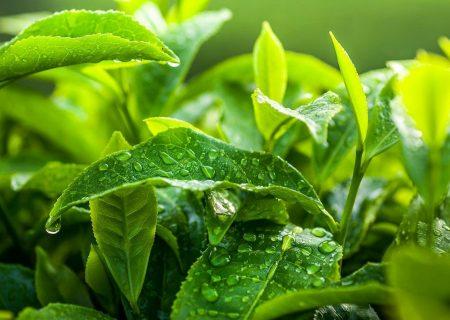 صنعت چای افزون بر ۱۰ میلیون دلار ارز آوری برای کشور دارد