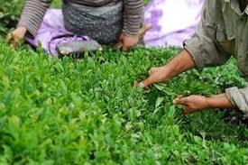آغاز پرداخت وام کم بهره بهزارعی باغهای چای