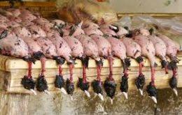 لغو مجوزهای شکار در صورت مشاهده آنفلوانزای پرندگان