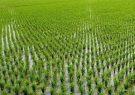کشت برنج در خارج از گیلان و مازندران ممنوع شد