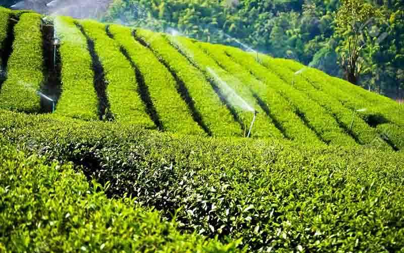 حذف ارز یارانهای واردات چای هنوز در شورای اقتصاد اجرایی نشده است!