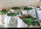 خوشحالی چایکاران ایران از حذف ارز ۴۲۰۰ تومانی برای واردات چای خارجی