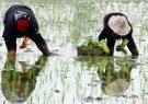 خزانه گیری و نشاکاری برنج در گیلان طبق تقویم زراعی باشد
