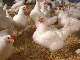 ممنوعیت صدور مجوز تأسیس مرغ داریهای گوشتی