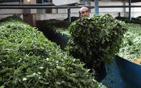 اعلام آمادگی ۱۵۰کارخانه چایسازی برای خرید برگ سبزچای از چایکاران