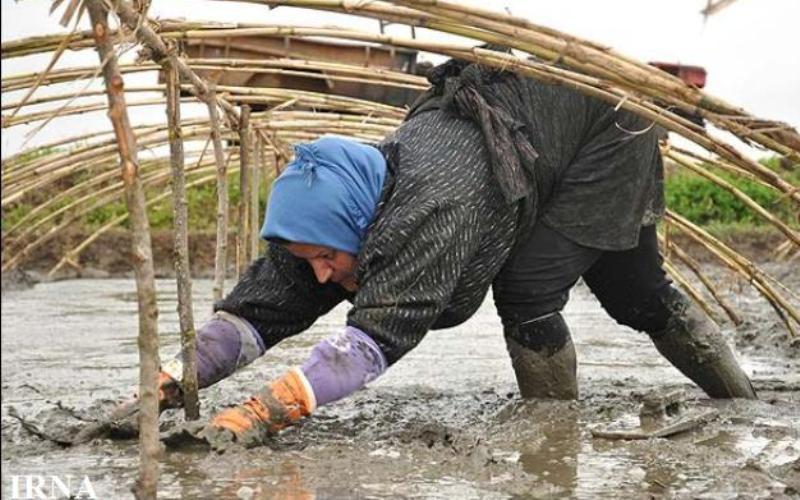 آغاز خزانهگیری برنج در گیلان