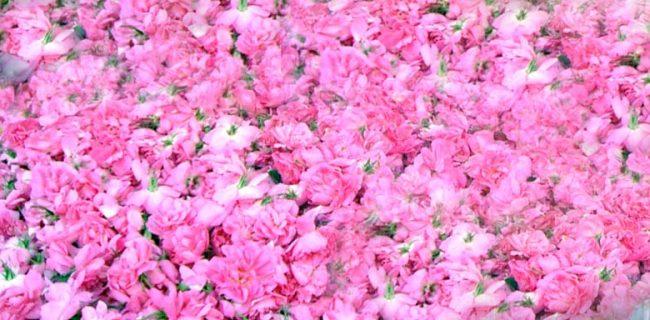 پیشبینی برداشت۳۰ تن گل محمدی در شهرستان شفت