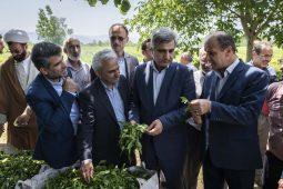 گزارش تصویری از بازدید استاندار گیلان از باغات چای آستانه اشرفیه