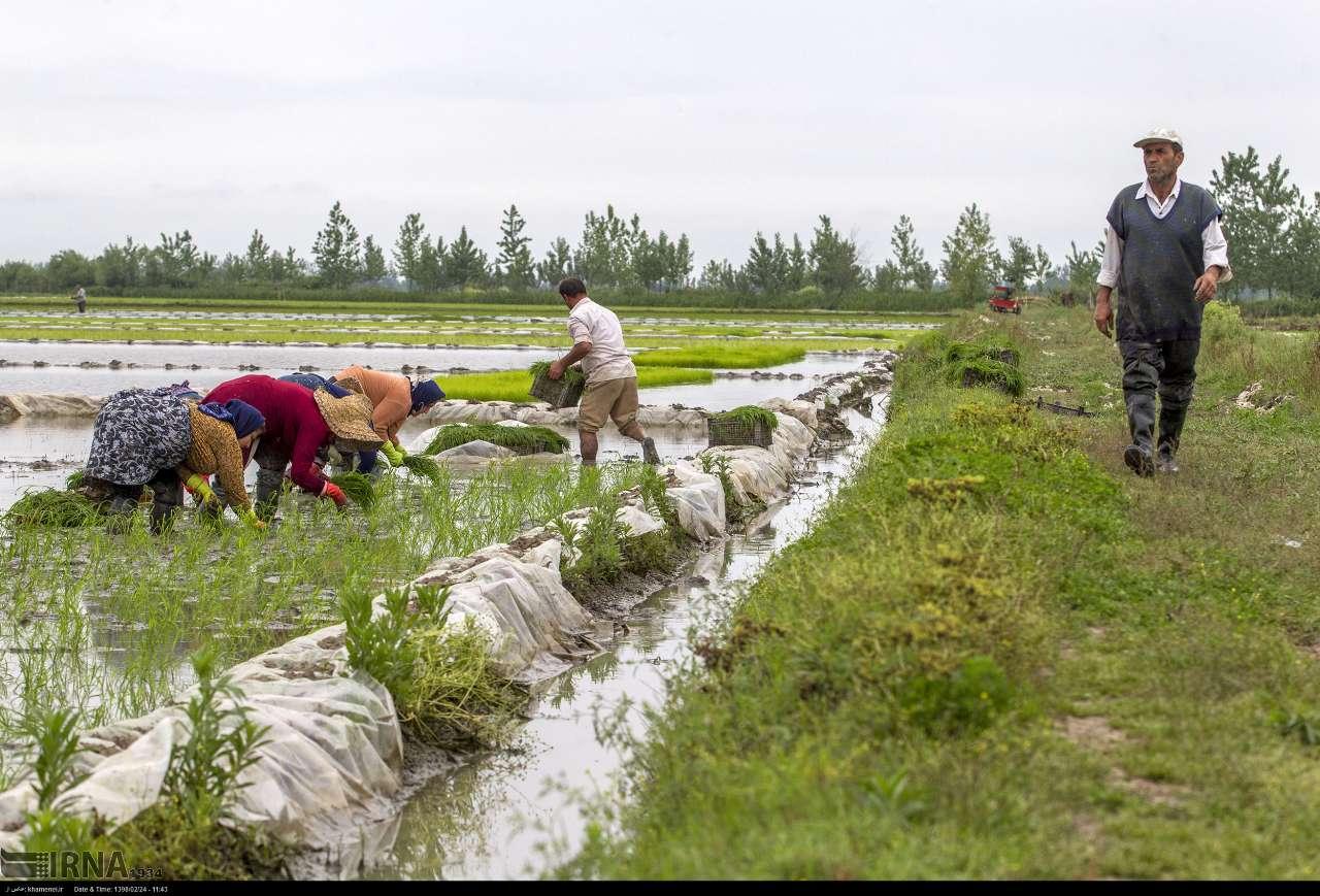 اجرای ۲۲ طرح تحقیقیترویجی در زمینههای زراعی و باغی گیلان