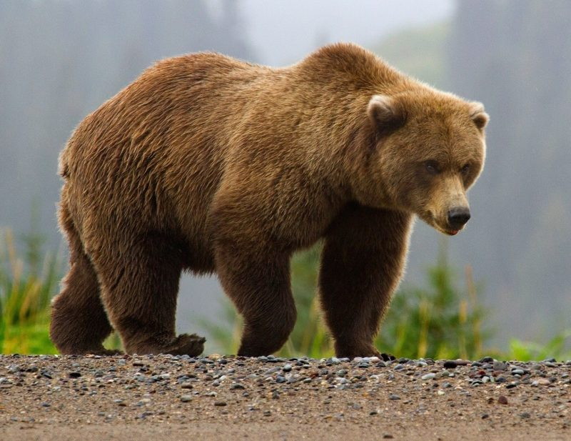 حمله خرس در روستای شیرکده خورگام رودبار