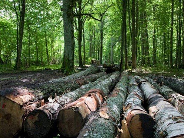 درختان در خطر انقراض شفت مورد طمع قاچاقچیان چوب