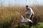 رهاسازی حواصیل سفید بزرگ در طبیعت لنگرود