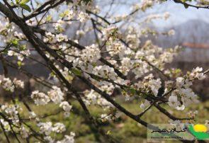 نوید بهار در گیلان