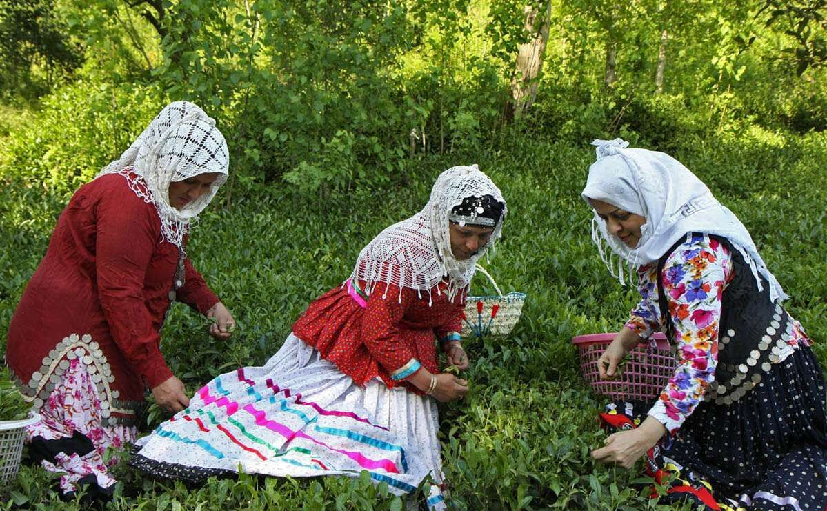 چایکاران گیلان نسبت به بیمه باغهای چای اقدام کنند