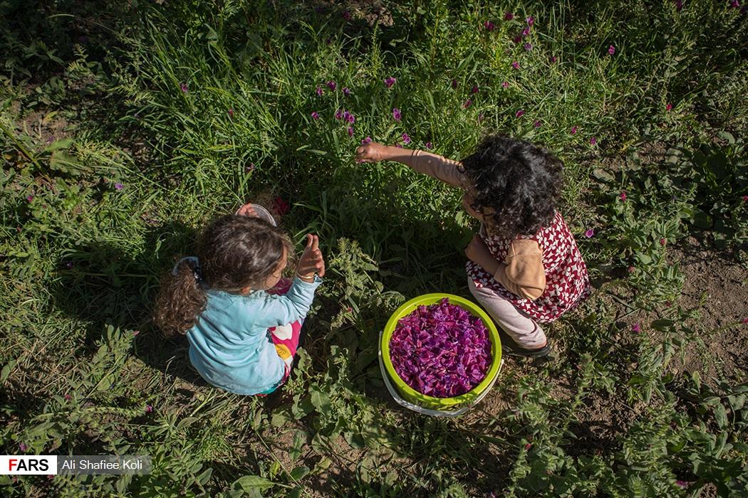 عکس  آغاز برداشت گل گاوزبان در مناطق کوهستانی گیلان
