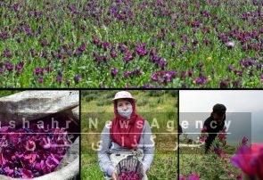 قیمت گل گاوزبان از ۲۲۰ به ۱۱۰ هزار تومان رسید