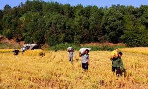 برداشت برنج در گیلان رو به اتمام است