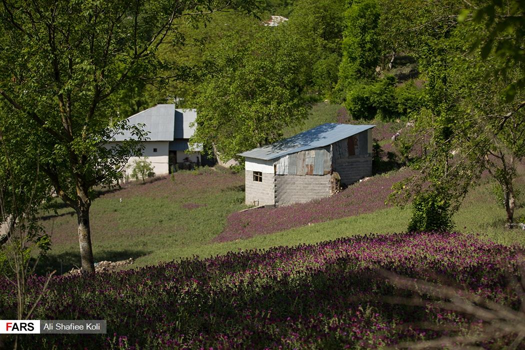 عکس| آغاز برداشت گل گاوزبان در مناطق کوهستانی گیلان