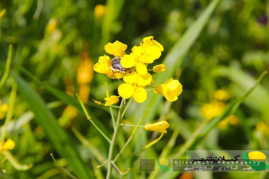 پرورش زنبور عسل در دشت های گیلان