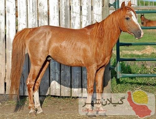 اسب کاسپین نگین درخشان صنعت اسب کشور